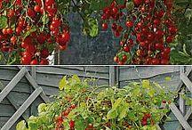 pestovanie zeleniny