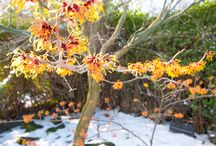 Winter Colour / Plants, shrubs and trees that provide colour in the winter.