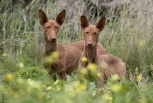 Podencos / We have a Podenco Andaluz, one of the smaller types. She's called Isa and she has the most amazingly large ears. Love her! Podencos are a lovely breed of dog, so docile and loyal with a hunting streak.