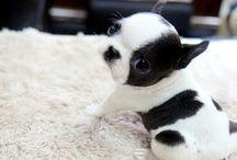 Boston BuBu / Boston terrier