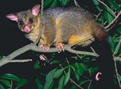 Possum Control / The possum is a pest that requires special attention. Because it is an indigenous animal it is protected and any removal and control requires a licensed operator.