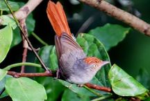 Birds-Erythrocercidae-flycatchers / Erythrocercus is a genus of bird found in Africa. It is monotypic in its own family and contains the following species: The Little yellow flycatcher, Livingstone's flycatcher, & Chestnut-capped flycatcher
