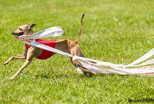 iDogs / Fangio Tredici & Adelchi Momo, my italian greyhounds
