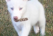 I Love Siberian Huskies!  / We have a white Siberian with the bluest eyes ever. He actually belongs to my grand-daughter but he stays with us.  / by Patti Pomeroy
