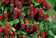"""Bunlar Ücretsiz mi Dersiniz? / """"O, gökten su indirendir. İşte biz her çeşit bitkiyi onunla bitirdik. O bitkiden de kendisinde üst üste binmiş taneler bitireceğimiz bir yeşillik; hurmanın tomurcuğundan sarkan salkımlar; üzüm bağları; bir kısmı birbirine benzeyen, bir kısmı da benzemeyen zeytin ve nar bahçeleri meydana getirdik. Meyve verirken ve olgunlaştığı zaman her birinin meyvesine bakın! Kuşkusuz bütün bunlarda inanan bir toplum için ibretler vardır."""" (Kur'an-ı Kerim, Enam, 6.99)"""