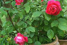 Roses / Passion des roses