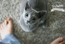 Russian Blue Cat - Kot rosyjski niebieski
