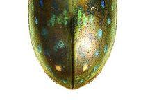 hydrophilidae
