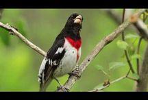 Bird Songs / by Little Birdie Blessings