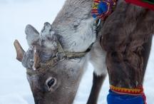 natives (mostly sami)