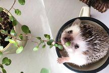 HEDGEHOG / Cutest hedgehog photos for pet lovers. The best hedgehog cages and homes, hedgehog care suplies, food and more.