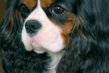 Cavelier king Charles / Of you like à pretty face and kuddle