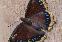 Butterflies (бабочки)