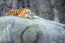 The Wild Cats / Wild Cats are the most interesting species of the Mammals family.