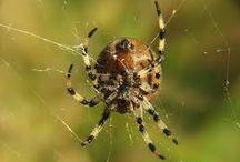 Pavoukovci