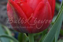 Spring Flowering Bulbs - Tulips / Tulips are the most famous of the spring bloomers. We have made a distinction between different varieties, which differ in colour, height, flowering time and flower type. Tulips should not be missed in the spring planting schedule of the keen gardener. Most tulips are also suitable as cut flowers.