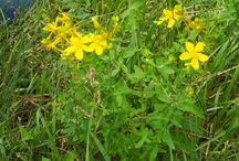 Herbs: St. John's Wort