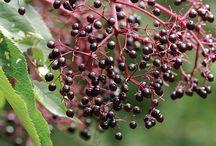 Elder: Flowers and Berries