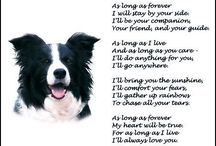 border collie Lady