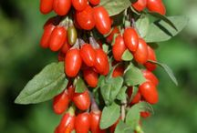 gojey berries