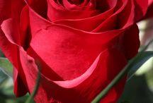 Trandafirul iubiri