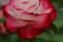 roses and plamts