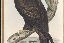 ornithologia
