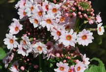 Pretty Primulas / A range of eye catching primula's, looking beautiful in your garden this spring and summer....