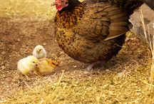 Chicken Breeds galore