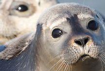 Zeehonden/Seals