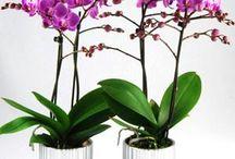 Little kolibri orchids / Altijd Diverse soorten verkrijgbaar in de winkel!