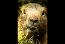 Marmotte Chiante