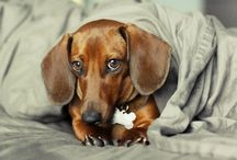 Dachshunds rule our hearts :)