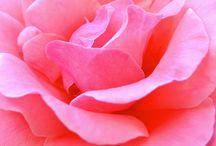 La Vie en Rose / What is more elegant, more luxurious than the rose?