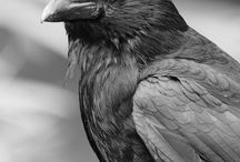 CrowN ~ RaveN