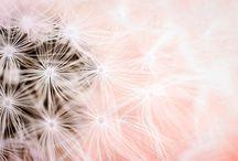 Dandelion Craze