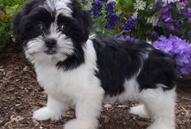 Shih Tzu cross breed