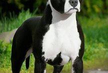 amerikan stafford sahire pitbull terrier