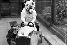 Vintage Kampfhund
