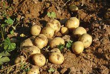 potato harvest time