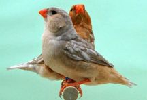 Uccellini / Diamante mandarino, codalunga, bikeno