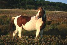 Half Arabian Chincoteague Ponies