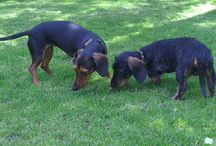 FÜLI&PAPIER❤️ / Our rescued dachshunds