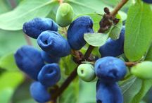 honeyberry