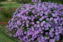 сад цветы астры