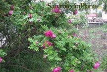 Trandafiri de dulceata - Sanatate Din Plante / Roses available for sale in order to make jam