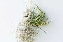 Air Plants / Decorating with air plants