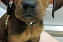 Copper the Hound Dog / My growing puppy... Half Black and Tan Coon Hound, half Mountain Cur