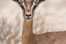 centaurette Gazelle