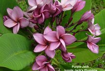 Flowers Plumeria......frangipani / one of my favourite trees / by Fabulous  Cat Woman